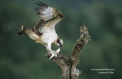Águila pescadora _JV011